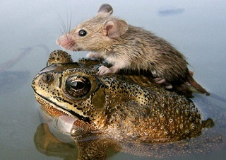 Mouse-on-a-Frog_9476